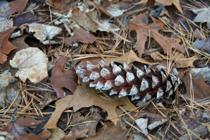 michiganlandpinecone